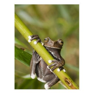 Captive Tapichalaca Tree Frog Hyloscirtus Postcard