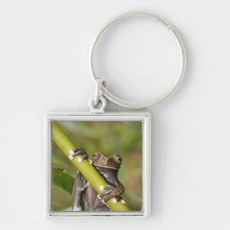 Captive Tapichalaca Tree Frog Hyloscirtus Silver-Colored Square Keychain
