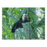 Capuchin Monkey Poster