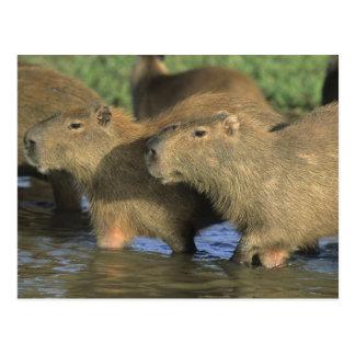 Capybara, Hydrochaeris hydrochaeris), world's Postcard