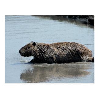 Capybara plunging into water postcard