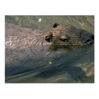Capybara swimming postcard
