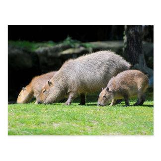 Capybaras grazing postcard