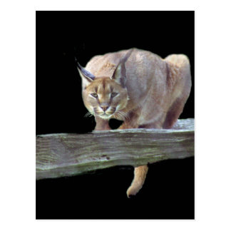 Caracal Cat Crouching Postcard