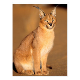 Caracal portrait, Harnas Private Reserve Postcard