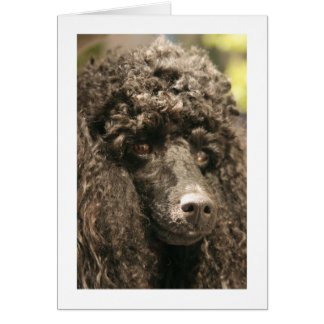"Card, ""Kiss my nose !,"" Poodle Card"