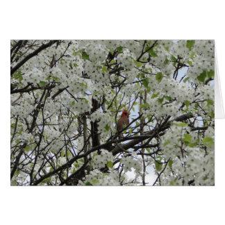 Cardinal Among White Blossoms Card