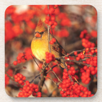 Cardinal female and red berries, IL Coaster