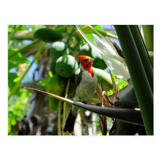 Cardinal Hawaii Bird of Paradise Coconuts Postcard