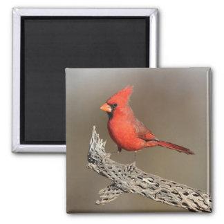 Cardinal on a cholla rib magnet