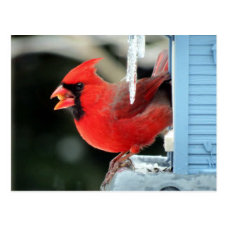 Cardinal on Ice - Bird Postcard