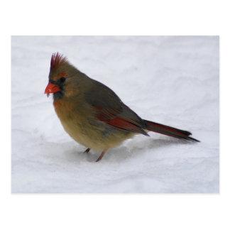 Cardinal Postcard