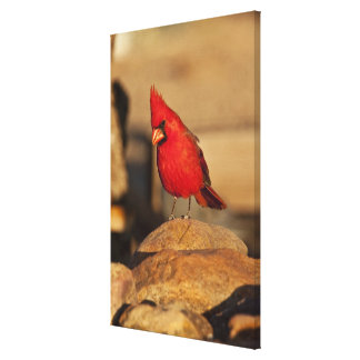 Cardinal, Richmondena cardinalis, South Eastern Canvas Print