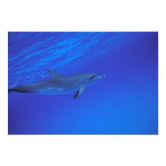 Caribbean, Bahamas Spotted dolphin Photograph