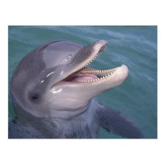 Caribbean, Bottlenose dolphin Tursiops 4 Postcard