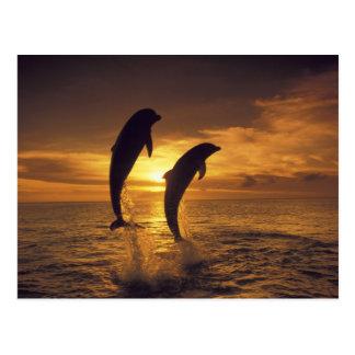 Caribbean, Bottlenose dolphins Tursiops 16 Postcard