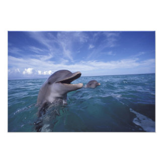 Caribbean, Bottlenose dolphins Tursiops 2 Photograph