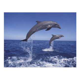 Caribbean, Bottlenose dolphins Tursiops 3 Postcard