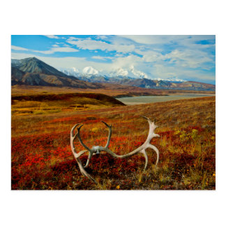 Caribou Antlers On The Alaskan Tundra Postcard