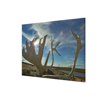 Caribou antlers on the sandy ground in the gallery wrap canvas