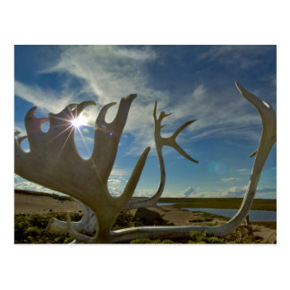 Caribou antlers on the sandy ground in the postcard