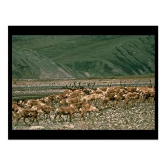 Caribou , Arctic National Wildlife Refuge Postcard