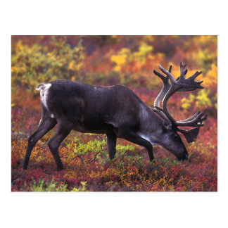 Caribou Art Postcard