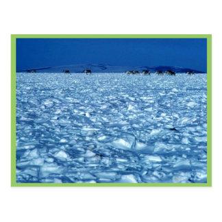 Caribou crossing snowy tundra postcard