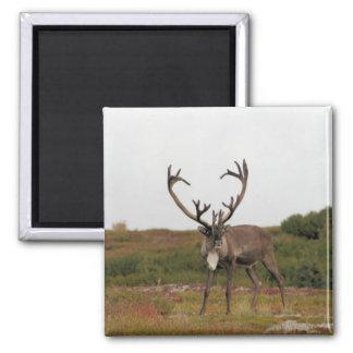 Caribou In Denali Square Magnet