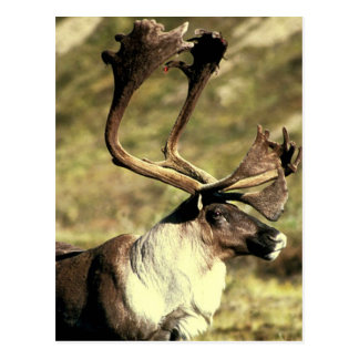 Caribou Postcard