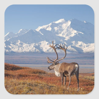 caribou, Rangifer tarandus, bull in fall colors Square Sticker