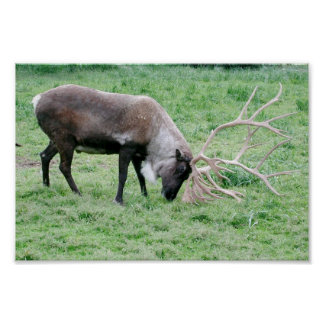 Caribou Using Antlers Poster