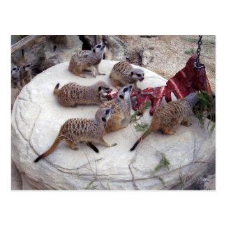 Carnivorous_Meerkats,_ Postcard