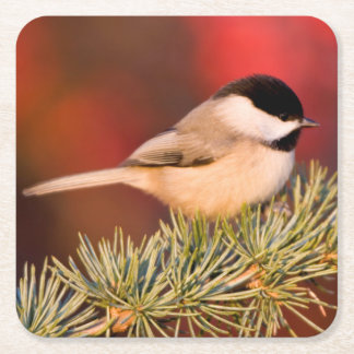 Carolina Chickadee in Blue Atlas Cedar Square Paper Coaster