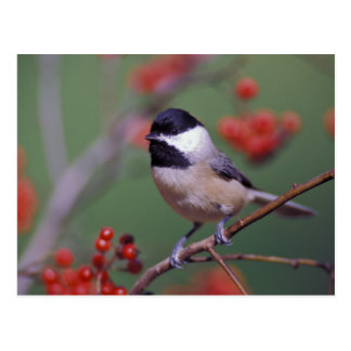 Carolina Chickadee Postcard