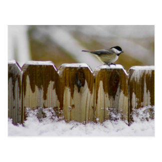 Carolina Chickadee Postcard