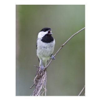 Carolina chickadee singing postcard