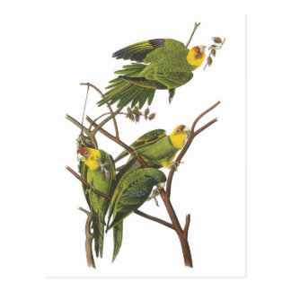 Carolina Parakeet by Audubon Postcard