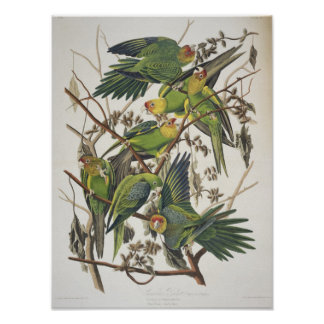 Carolina Parakeet, from 'Birds of America', 1829 Poster