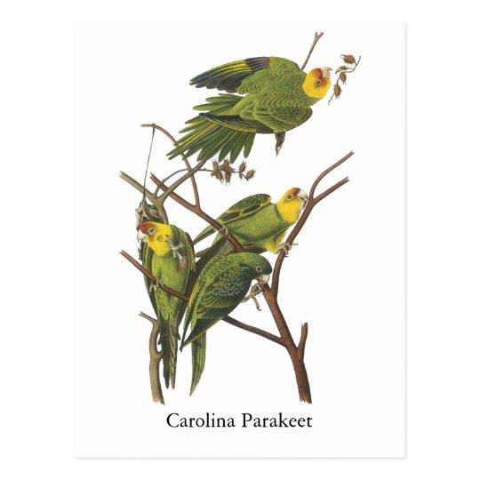 Carolina Parakeet, John Audubon Postcard