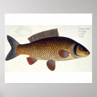 Carp (Cyprinus Carpio) plate XVI from 'Ichthyologi Poster
