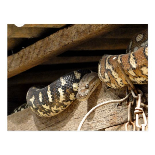 Carpet Snake in the Roof Postcard