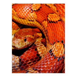 Carpet Snake Postcard