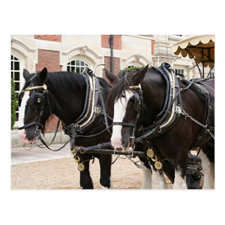 Carriage draft horses postcard
