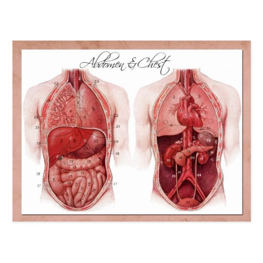 Carte Postale Anatomie de l\'abdomen et du coffre | Zazzle.ca