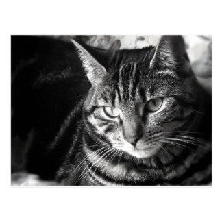 Carte postale de chat tigré