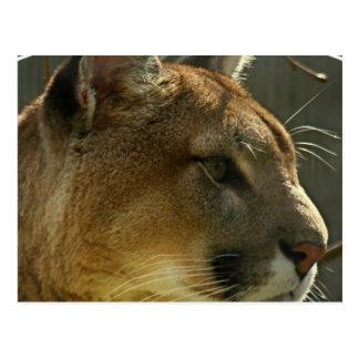 Carte postale de puma de puma