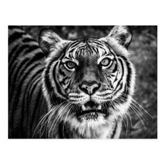 Carte postale de tigre