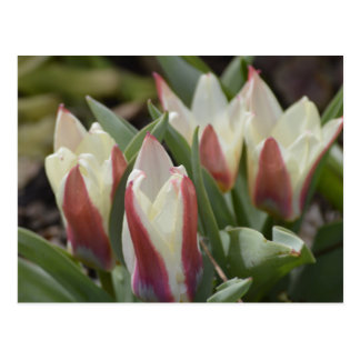 Carte postale de tulipe