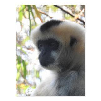 Carte Postale Gibbon